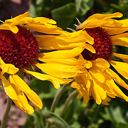 Gaillardia (or Blanket flower) is a genus of drought-tolerant annual and perennial plants from the sunflower family (Asteraceae). Photo from Baring Creek Valley, in Glacier National Park, in the Rocky Mountains, Montana, USA.