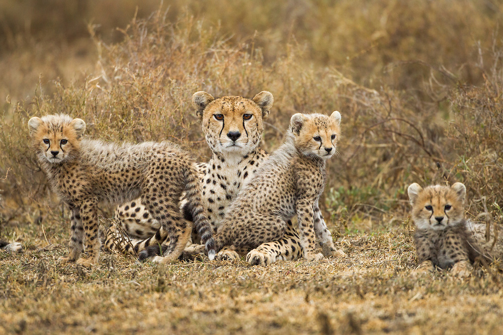 Tanzania, Ngorongoro Conservation Area, Ndutu Plains, Cheetah sits with three cubs (Acinonyx jubatas) while resting in savanna
