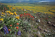 WA13095-00...WASHINGTON - Lupine, paintbrush and balsamroot blooming together on a hillside along the Stacker Butte route above the Columbia River in the Dalles Mountain Ranch section of Columbia Hills State Park.