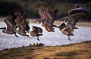 Pelicans taking flight in Bundala National Park. Sri Lanka.