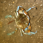 Blue Crab feeding in the canal