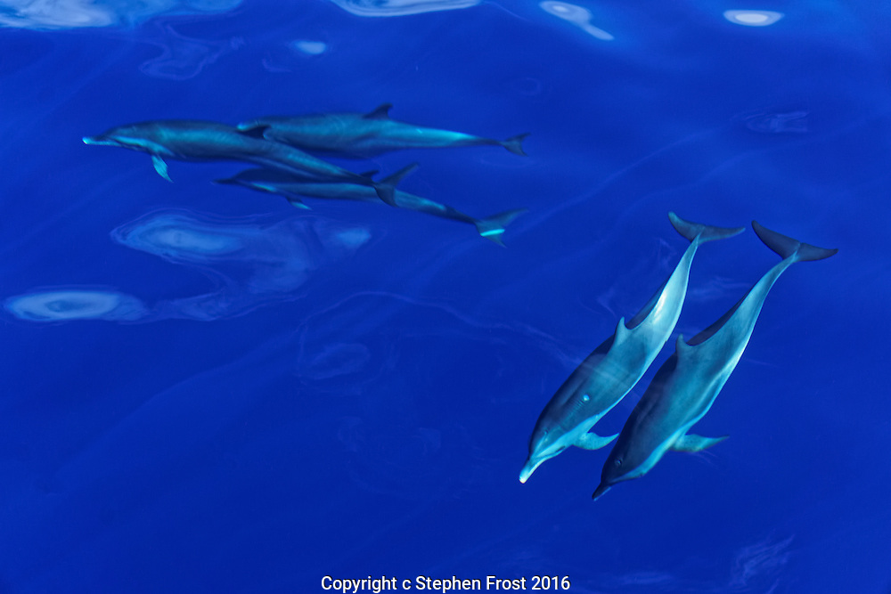 Wild Striped Dolphins of the Caribbean Island of Dominica