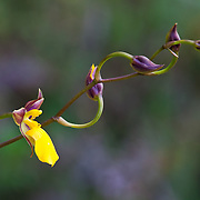 Orchid (Ondontoglossum mystacinum) in Wayqecha Cloud Forest Biological Station, Andes Mountains, Peru