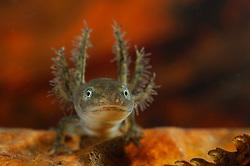 Alpine Newt (Triturus alpestris) Larvae   Ca. 14 bis 30 Tage nach der Eiablage schlüpfen aus den Eiern der Bergmolche (Triturus alpestris) die Larven. Typischerweise entstehen bei Molchen - im Genensatz zu den Froschlurchen - zunächst die vorderen Gliedmaßen, erst später die hinteren. Beim Übergang zum adulten Tier bilden sich die auffälligen äußeren Kiemen zurück. Bei Bergmolchen ist häufig das Phenomen der Neotenie beobachtet worden. Dabei wächst ein Molch heran, der nie das Larvenstadium mit den externen Kiemen und das Leben im Wasser hinter sich läßt. Diese Individuen können auch geschechtsreif werden und sich fortpflanzen.
