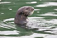 California Sea Otter (Enhydra lutris) portrait detail - Elkhorn Slough, California