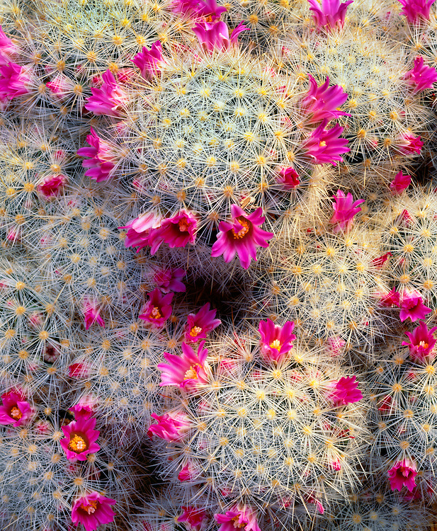 6105-1030B ~ Copyright:  George H. H. Huey ~ Pincushion cactus [Mammillaria lauii].  An endemic cactus from the state of Taumalipas.  Chihuahuan Desert.  Mexico.