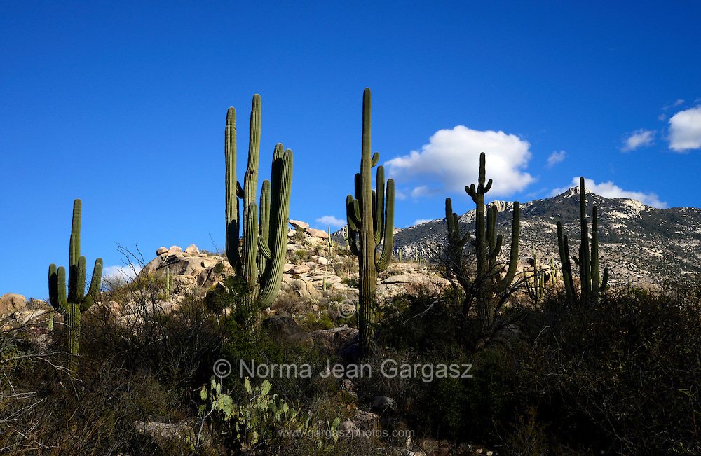 Saguaro cactus, (Carnegiea gigantea), grow in the foothills of the Santa Catalina Mountains, a forest covered Sky Island, in the diverse eco system of the Sonoran Desert, Catalina, Arizona, USA.