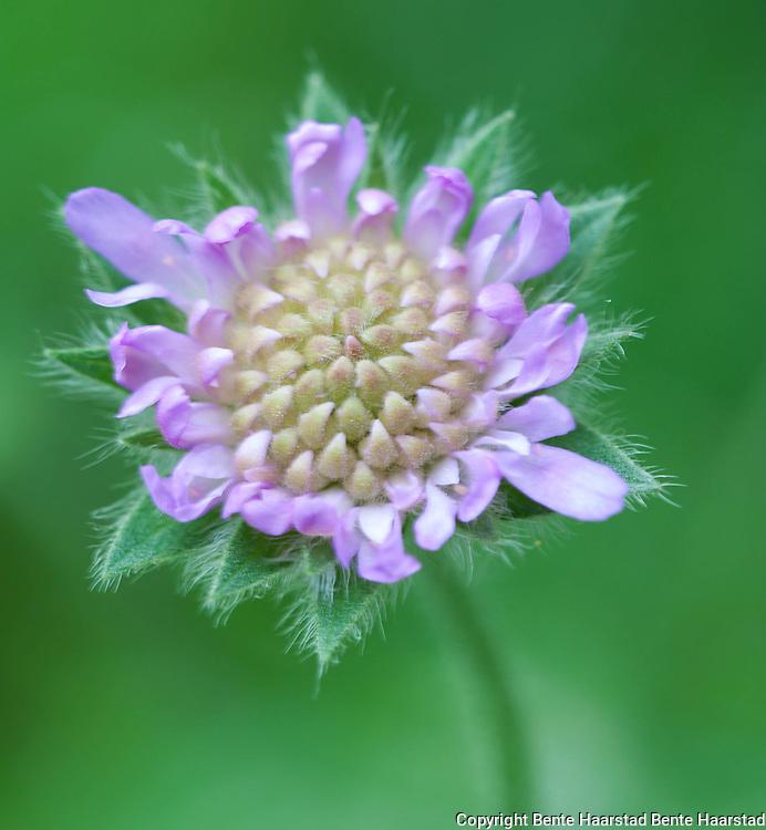 Rødknapp, Knautia arvensis, kardeborrefamilien. I ferd med å springe ut. Kurs i makrofoto, juli 2011.