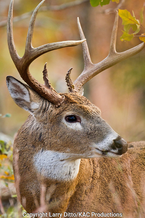 white-tailed deer (Odocoileus virginianus) buck in autumn woods