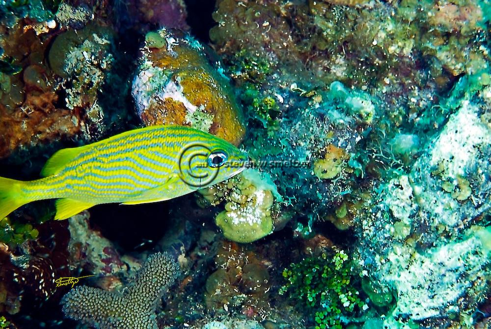French Grunt, Haemulon flavolineatum, Grand Cayman