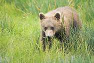 Grizzly Cub Eating Grass, Lake Clark National Park, Alaska