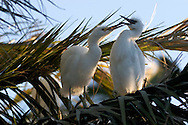 Snowy Egrets in Palm Tree, Palo Alto Baylands Preserve, California