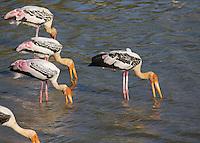 Painted Stork (Mycteria leucocephala) feeding in a lake, Yala National Park, Sri Lanka