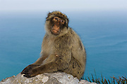 Barbary Macaque or Barbary Ape (Macaca sylvanus)<br /> GIBRALTAR, UNITED KINGDOM<br /> Only monkey in Europe. True monkeys not apes and the only monkey without a tail. They are arboreal and terrestrial.<br /> IUCN: ENDANGERED SPECIES