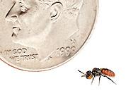 A rarely seen Cuckoo Bee (Holcopasites calliopsidis) is dwarfed beside a US dime.