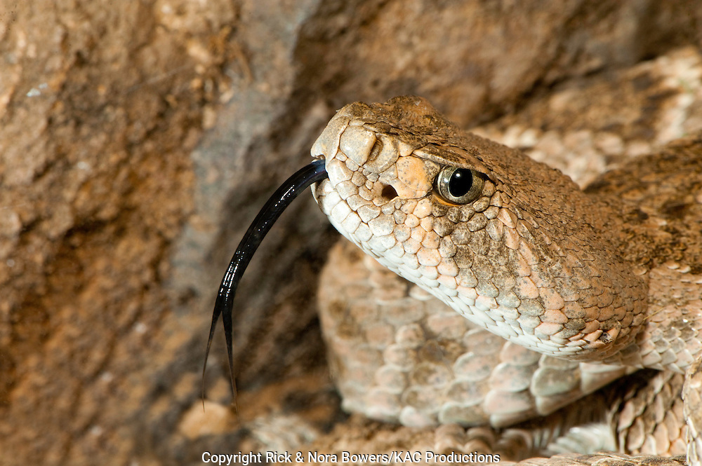 Western Diamondback Rattlesnake.Crotalus atrox.Tucson, Pima County, Arizona, United States.5 April     Adult         Viperidae