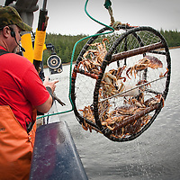 Crab harvest demonstration aboard the Aleution Ballad, Ketchikan, Alaska..The Dungeness crab, Metacarcinus magister (formerly Cancer magister), is a species of crab that inhabits West Coast eelgrass beds and water bottoms from Alaska's Aleutian Islands to Santa Cruz, California