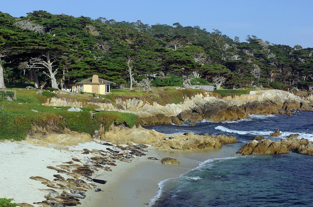 harbor Seals (phoca vitolina) Pebble Beach, 17 Mile Drive, Monterey Bay, Monterey, California, United States of America