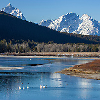 Migrating turmpeter swans in Grand Teton National Park