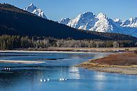 Migrating turmpeter swans in Grand Teton National Park