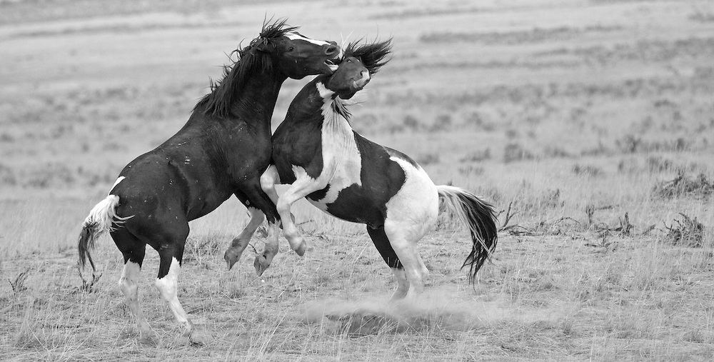 Two wild mustang stallions battle for superiority within the herd as the dust flies at the McCullough Peaks Herd Management Area near Cody, Wyoming.