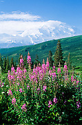 Alaska. Mt McKinley (20,320 ft) and Fireweed (Epilobium angustifolium).