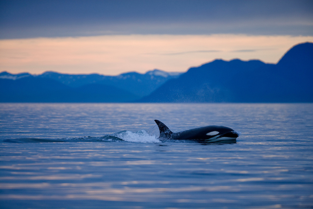 USA, Alaska, Petersburg, Killer Whale (Orcinus orca) swimming in Frederick Sound on summer evening