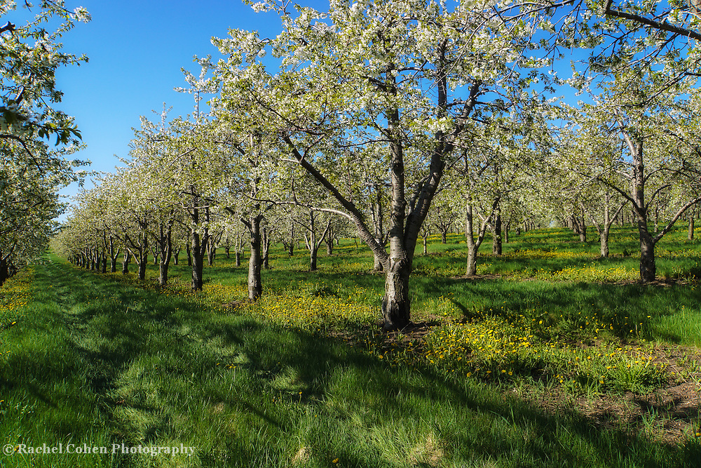 """Orchard in Bloom"""