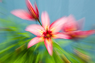 Creative in-camera zoom blur of Tiger Lily in garden in Southcentral Alaska. Summer. Afternoon.