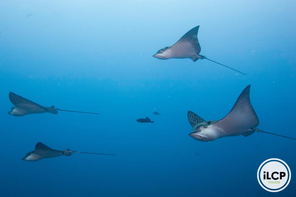 Graceful image from below of a spotted eagle rays (Aetobatus narinari)  Galapagos Islands, Ecuador.