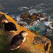 Two Atlantic puffins (Fratercula arctica) share a ledge high above the Atlantic Ocean at Látrabjarg, Iceland. Látrabjarg is the western most point in Europe, and Europe's largest bird cliff, 14 kilometers (8.5 miles) long and up to 440 metres (1,444 feet) high.