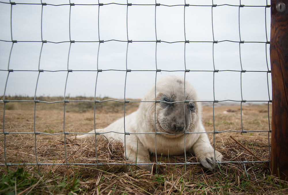 A grey seal pup trying to push its way through a fence at Donna Nook Reserve in Lincolnshire, UK