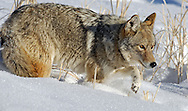 During the long winter in Yellowstone Park, coyotes act primarily as scavengers, feeding on winter-killed ungulates. The depth and hardness of the snow influences how well coyotes can continue to detect and kill small prey in winter. If conditions are favorable, they can supplement their diet by hunting voles, mice, gophers and other small mammals.