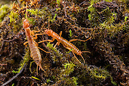 Rock Crawler, Northern Rock Crawler, Ice Crawler (Grylloblatta sp.; probably campodeiformis) - male &amp; female<br /> Washington: Spokane Co.<br /> Mt. Spokane<br /> 22-Oct-2014<br /> J.C. Abbott &amp; K.K. Abbott