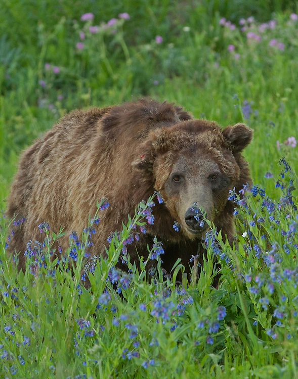 Grizzly 211 of Yellowstone, also known as Scarface, is over twenty years old. This famous old warrior has seen so many battles that his ears can no longer stand upright and he's terribly scarred on his right cheek.