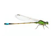 Rambur's Forktail (Ischnura ramburii) - male<br /> TEXAS: Travis Co.<br /> Horsby Bend; Austin<br /> 11-May-2016<br /> J.C. Abbott #2812