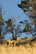 Mule Deer buck  (Odocoileus hemionus) west of Livingston Montana<br /> PROPERTY RELEASED