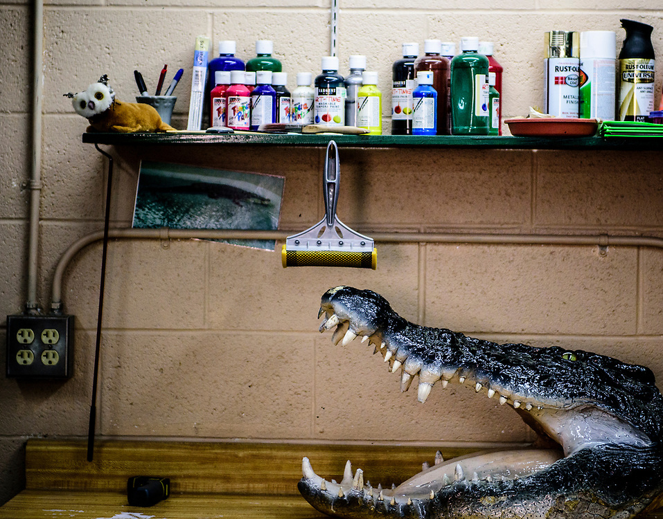 rer031617l/Life/03.16.2017/Roberto E. Rosales <br /> The mounted head of a saltwater crocodile sits on a workbench below a shelf of non-toxic paints that reptile house keepers use as part of the Art Gone Wild program, in which zoo animals create unique paintings. <br /> Albuquerque, New Mexico(Roberto E. Rosales/Albuquerque Journal)