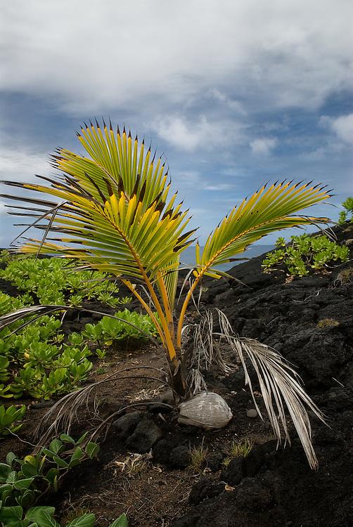 Baby palm tree growing on the lava in Hana, Maui.