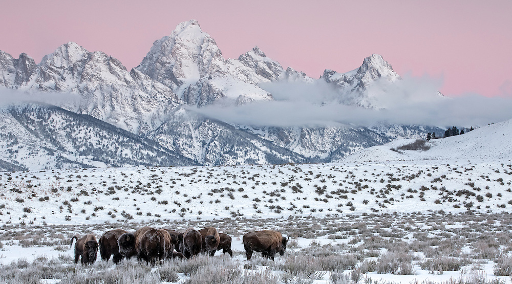 On a winter morning in Grand Teton National Park, a small herd of bison rise from their evening slumber to make their way through the frozen landscape.