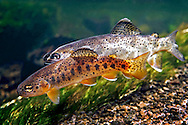 Apache Trout<br /> <br /> Patrick Clayton/Engbretson Underwater Photography