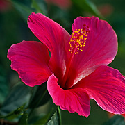 Hibiscus flower. Mexico.