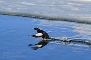 Black guillemot (Cepphus grylle) takes flight in the icy waters of Kongsfjorden, Svalbard.