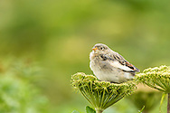 Juvenile Snow Bunting (Plectrophenax nivalis) perched on wild celery on St. Paul Island in Southwest Alaska. Summer. Afternoon.