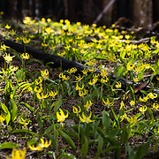 Erythronium grandiflorum is commonly known as glacier lily, yellow avalanche lily, and dogtooth fawn lily. This field of flowers was photographed along Table Mountain Trail #1209, near Blewett Pass, Wenatchee National Forest, Washington, USA.