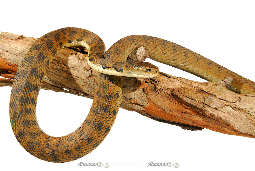 Rough-scaled Snake (Tropidechis carinatus)