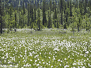 Cotton grass, Sweden, Norrland, Lapland