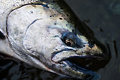 King (Chinook) Salmon Stock Photos