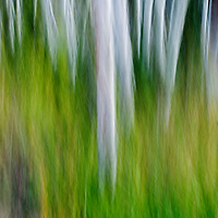 aspen forest shot with moving camera