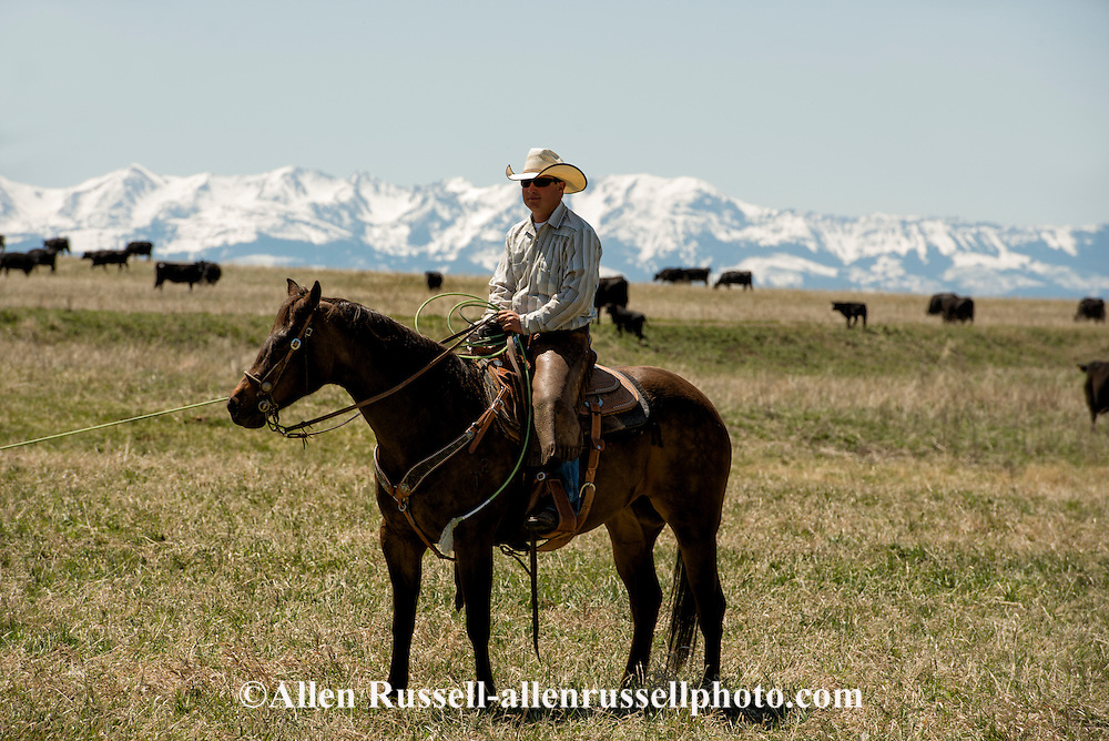 Cowboys, dragging calves to the fire, branding, Lazy SR Ranch, Wilsall, Montana, Tyler Sarrazin
